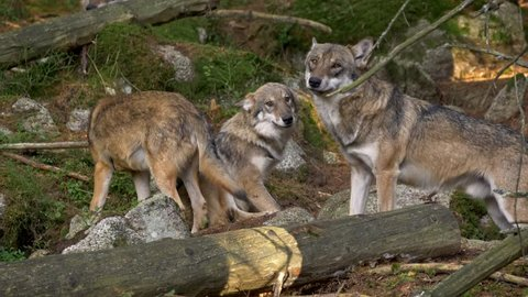 Eurasian wolf (Canis lupus lupus) pack in forest
