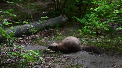 European pine marten (Martes martes) eating dead bird chick in forest