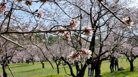 Madrid / Spain - 02 23 2019: People sit between blooming almond trees in spring. Blooming almond tree flowers close up at Quinta de los Molinos city park at Alcala street in Madrid, Spain.
