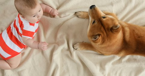 Shiba inu huge dog coming and lying next to the happy smiling little baby boy. Baby looks and touches his puppy pet with the hands at home. Top view, 4k