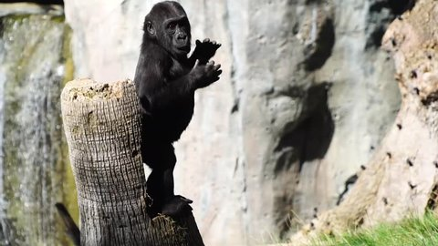 Baby gorilla hitting his chest. Young gorilla playing.