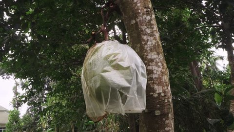 Unripe Jackfruit also called Breadfruit (Artocarpus heterophyllus) on Tree Branch Wrapped in Plastic Bag to Protect from Insects and Birds