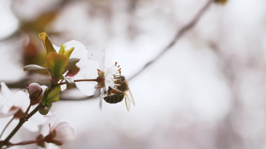 Slow motion side view close up of honey bee on plum flower collect nectar in the spring garden woods
