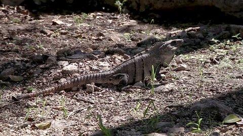 A native iguana in the jungle of the Yucatan peninsula.