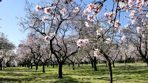 An overview video of an almond tree in blossom with pink flowers in spring in Europe at the park of Quinta de los Molinos in Madrid, Spain in spring. Famous park in Madrid with blooming almond trees.