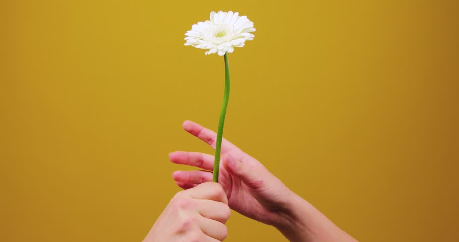 A man's hand gives a flower to a girl, she stretches after him, but changes her mind to take it and the isolated, studio, yellow background leaves the frame. Gift, Valentine's Day, March 8, couple | Shutterstock HD Video #1025471639