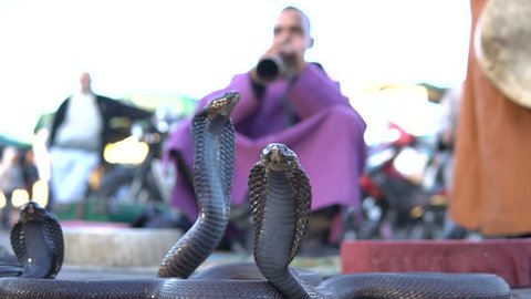 Cobra Enchanting. Snake being charmed by music played by man at street of Marrakech, Morocco