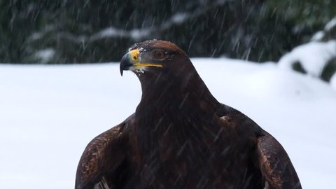 Golden eagle (Aquila chrysaetos) in the forest during snowfall rips pieces of meat from frozen racoon carcass. Golden eagle on snow.