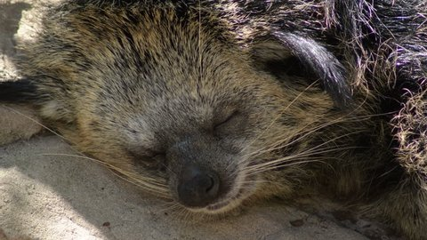 Bearcat or Binturong sleeping peacefully - Arctictis binturong