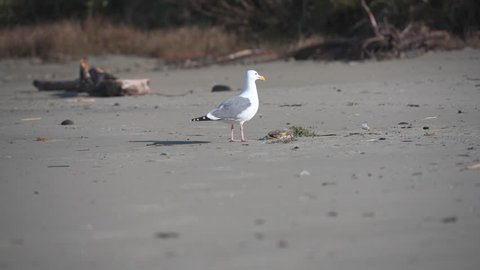 Seagull Drags Crab On Beach before feasting on it