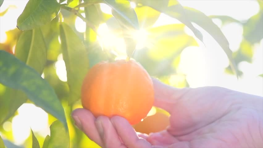 Ripe Orange Citrus fruits or tangerines hanging on a tree. Person picking Beautiful Healthy organic juicy oranges in Sunny Orchard. Orange gathering. 4K UHD video 3840X2160 slow motion