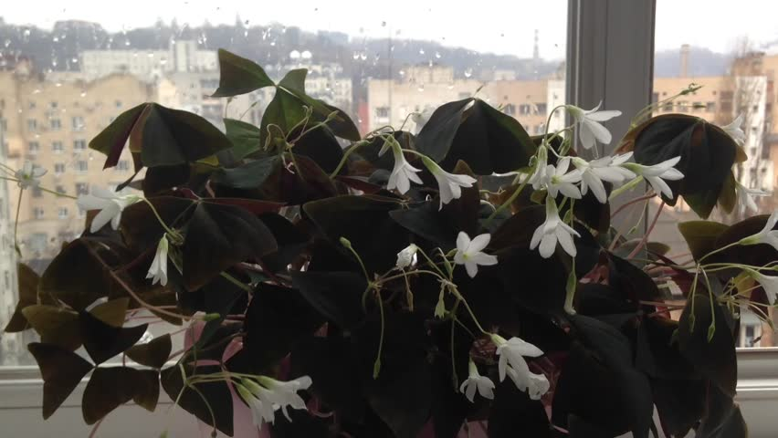 Home plant, Oxalis, is against the background of the window overlooking the city. The window glass is wet from rain. Purple triangular leaves and white flowers swaying from the wind Outside. Backlight