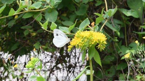 White butterfly(Pieris melete Ménétriès) sucking nectar from Aizoon stonecrop(Sedum aizoon L) flowers