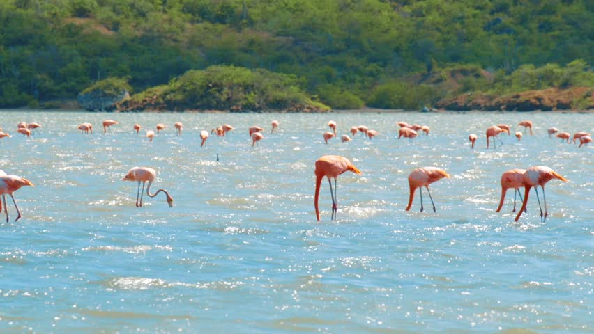 Large flock of incredible pink flamingoes feeding and bathing in a shallow salt pan in Curacao, Caribbean