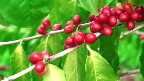 Close-up Ripe red Kona bean coffee