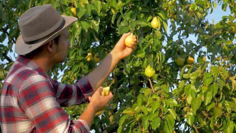 Caucasian man farmer in a hat and plaid shirt, harvesting ripe pears from a tree in the garden, in the summer in the light of sunset, slow motion