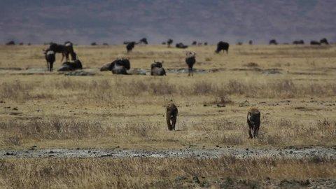 Hyenas in Tanzania