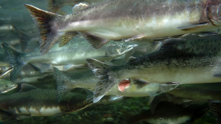 Close-up school of salmon fish underwater in sea. Salmonidae Oncorhynchus gorbuscha game-fish in clear transparent water of Sea of Okhotsk.