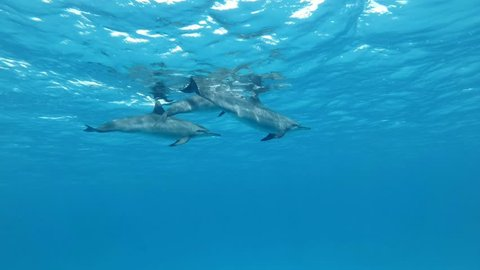 Super slow motion, Family of three dolphins slowly swim under sufrace of blue water. Spinner Dolphin (Stenella longirostris) Low-angle shot, Underwater shot. Red Sea, Sataya Reef (Dolphin House) Egypt