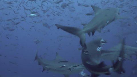Gray bull shark eats fish underwater ocean of Tonga. School of sharks Carcharhinus leucas in underwater marine wildlife of Pacific Ocean.