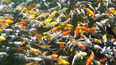 Koi fish or carp fish are swimming in the pond.