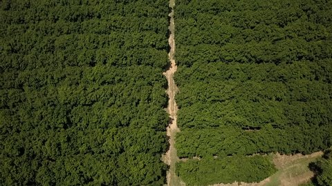 A stunning overhead aerial drone shot of a macadamia nut orchard farm in Queensland, Australia