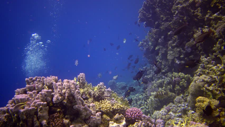Coral reef in the Red Sea, Abu Dub. Static video, Beautiful underwater landscape with tropical fish and corals. Life coral reef. Egypt