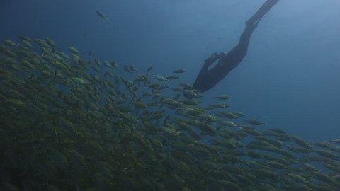 Freediver dives into flock of fish (Oxeye Scad - Selar boops)