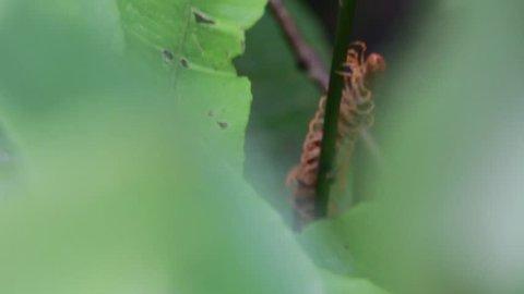 Centipede crawling down an ast in jungle in Borneo, Malaysia