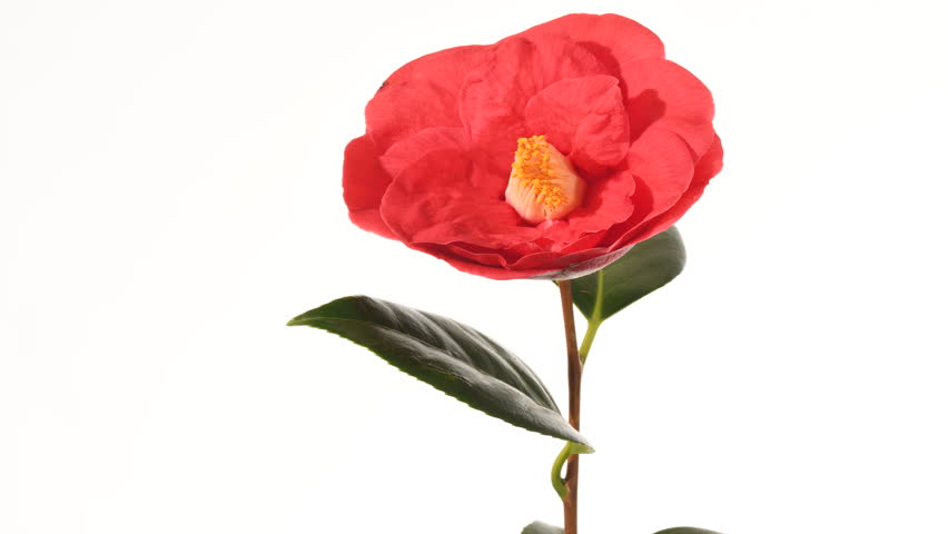 Red Camellia flower bud opening time lapse 4 k. 3 of 3. The flower opens facing the camera. Close up, isolated against a white background, yellow stamens move