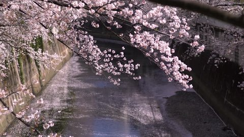 """The scenery of """"Kanda River"""" where the cherry blossoms are in full bloom. The petals dance in the wind and fall to the surface of the river. Bunkyo, Tokyo, Japan."""