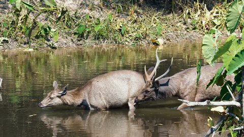 Pair of sambar deers rest in the river at Khao Yai national park, Thailand. Sambar is a large deer living in the Indian Subcontinent, southern China and Southern Asia.