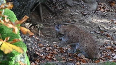 Two month old Eurasian lynx (Lynx lynx) kitten grooming fur in forest near den