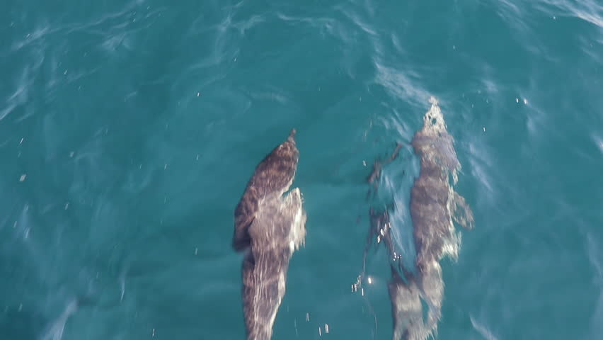 Two Dolphins swimming in front of boat jumping, Slow Motion | Shutterstock HD Video #1027455449