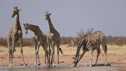 Giraffe awkwardly drinking from a water hole in Etosha National Park, Namibia