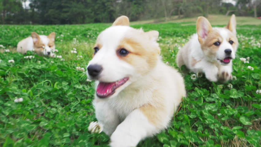 Lovely small pretty corgis running in the clover field one after another straddling legs their hair waving in the wind happily and cheerfully on the daytime group of happy Corgi puppy running outdoor | Shutterstock HD Video #1027594499