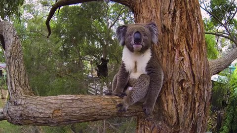 An old male koala is guarding his territory against potential young invaders who might like to mate with his female friend