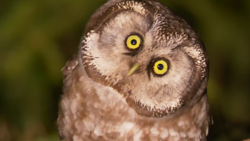 Boreal owl. Bird is looking for prey in night forest. Aegolius funereus. | Shutterstock HD Video #1027705289