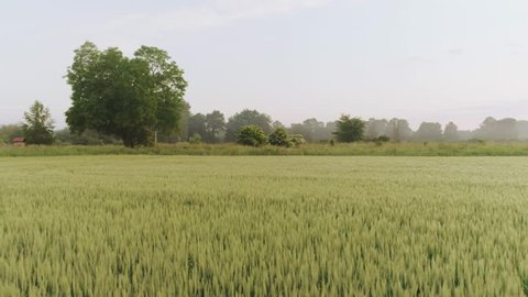 Slow fly above green, fresh wheat field. Elderflower bushes in the distance. Early morning.