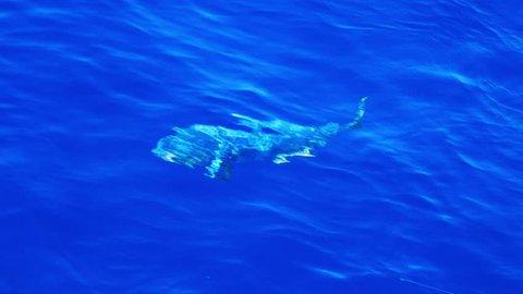 Huge mahi mahi fish near water surface hooked on fishing line, Tracking Shot