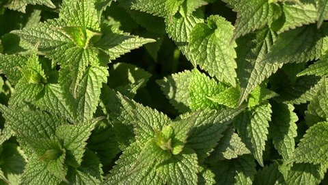 young spring nettle close up