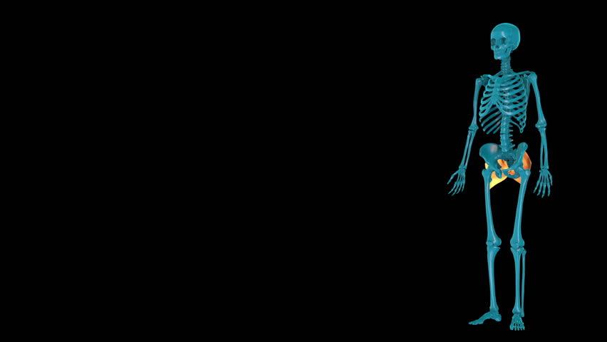 Gluteus maximus--3D HUMAN MUSCLE ATLAS   Shutterstock HD Video #1027926119