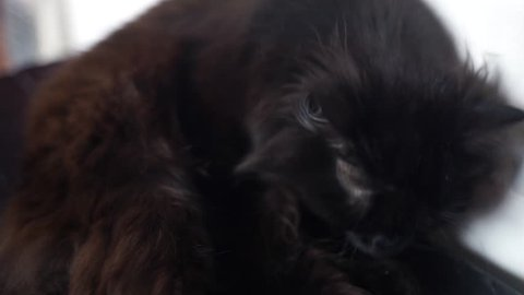 Fluffy black cat washes his face. A black domestic cat licks its fur. Black beautiful cat yawns.