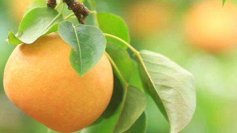 Ripe Japanese pear(nashi) on the plantation.