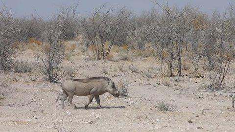 Warthog walking through dry landscape of Etosha National Park, Namibia