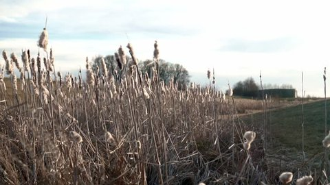 Panning shot of some cattails swaying in the wind. 120 fps slowed down to 30 fps.