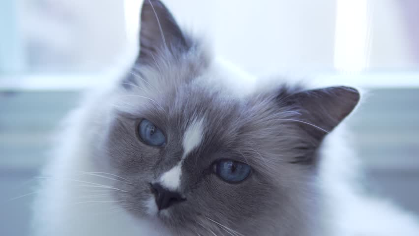 Young healthy and active cat with big blue eyes looking around for mischief to do while no owner around. White furry ragdoll cat. Close up of the face with focus shift from nose to eyes. 4k uhd.
