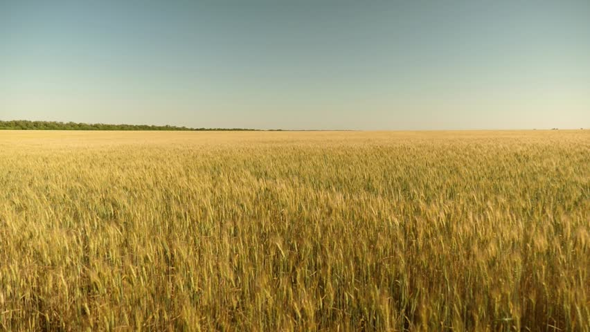 Environmentally friendly wheat. field of ripening wheat against blue sky. Spikelets of wheat with grain shakes the wind. grain harvest ripens in summer. agricultural business concept. | Shutterstock HD Video #1028138219
