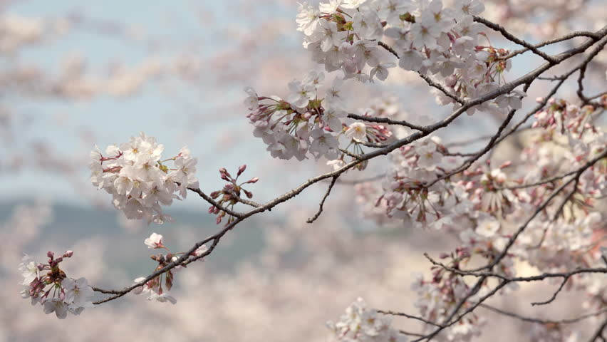Beautiful natural background of Japanese spring and blooming sakura trees. Closeup view of cherry branch in selective focus and blurred flowers in distance. | Shutterstock HD Video #1028207339
