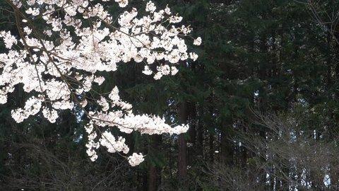 Cherry Petals Dancing in the Wind (slo-mo)